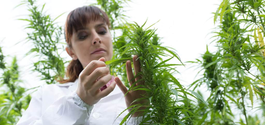 Female scientist checking cannabis plants and flowers, alternative herbal medicine concept. Frontier Botanics, Medical Cannabis.